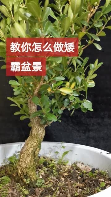 黄杨矮霸大树型这样做黄杨盆景 黄杨无水印高清快手电脑版